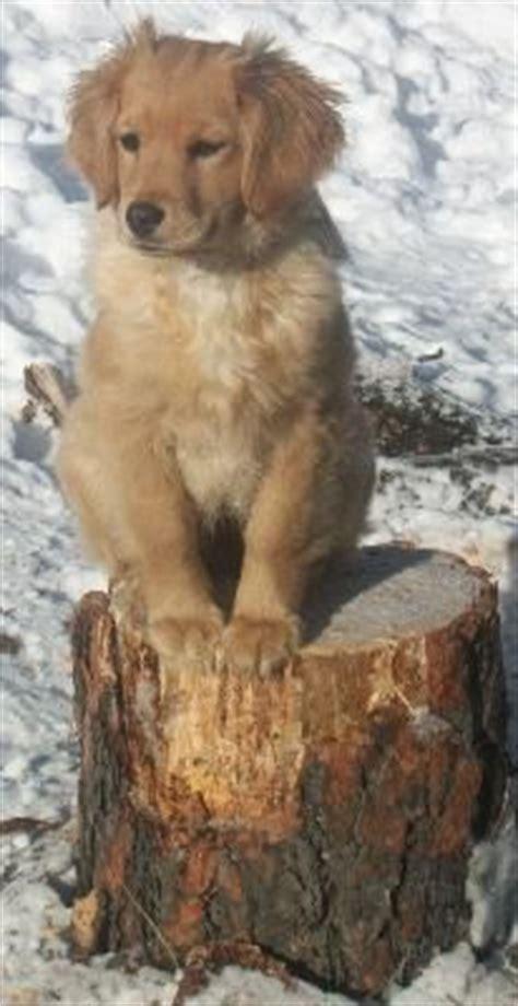 mini golden cocker retriever puppies for sale best 25 golden retriever puppies ideas on golden retriever names
