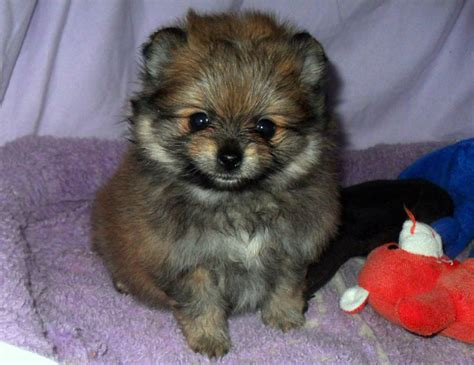 teddy pomeranian breeder 119 best pomeranian puppies for sale images on