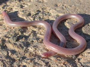 what is a blind snake real monstrosities blind snake