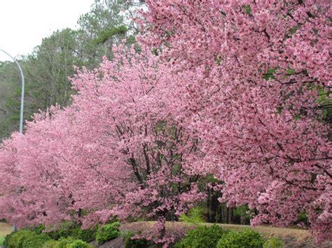 trees nc cherry trees carolina carolina
