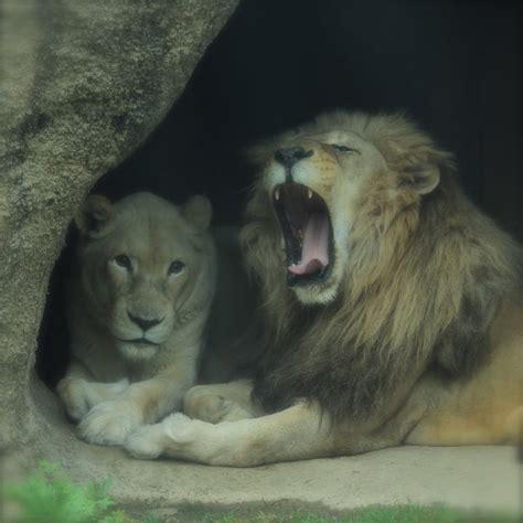 lion couple animal photograph morning yawn tired wild