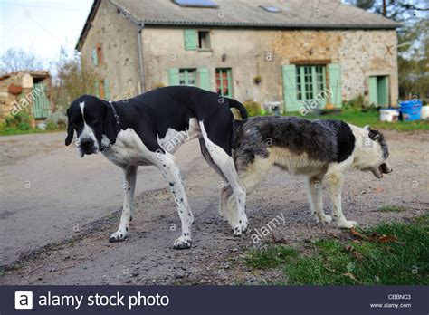 dogs stuck together stock photo of two dogs stuck together after mating stock photo royalty free image