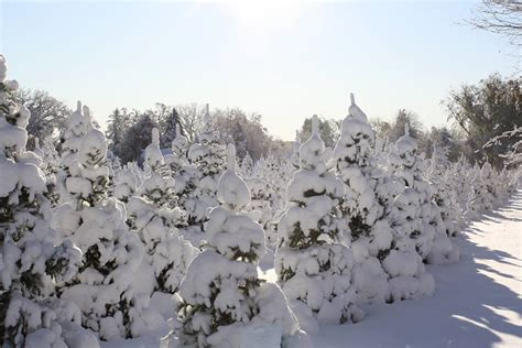 christmas tree farms in topsfield ma where you can cut down trees davagian tree farm kidscompass