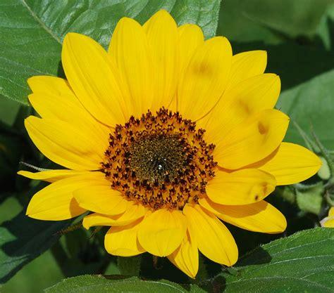 The Flower pseudanthium