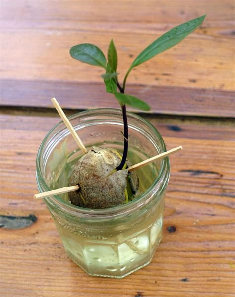 Planter Un Noyau D Avocat Germ by Culture De L Avocat Fruit Planter Et Faire Pousser Un