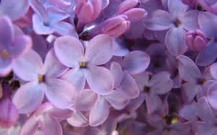 Lilac Flowers Purple Lilac Wallpaper Flowers Nature Wallpoop The Wallpaper Site Wallpoop The Wallpaper