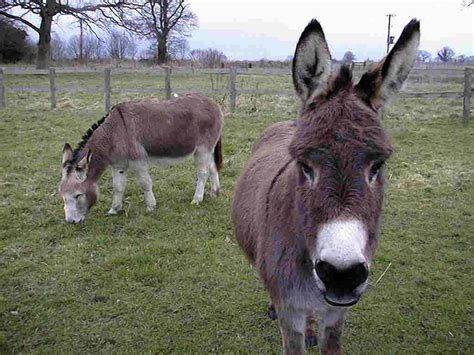 burro animal wallpapers animals wiki pictures