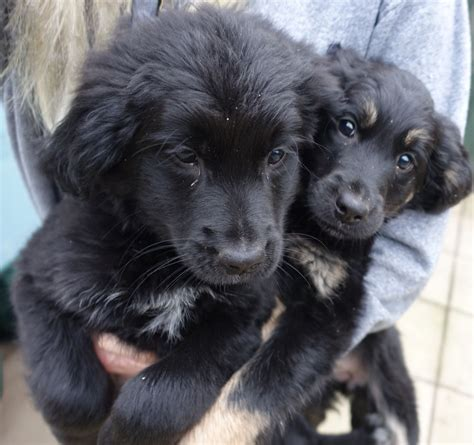 border collie x golden retriever puppies for sale border collie x lab golden retriever puppies milton keynes buckinghamshire pets4homes