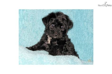 yorkie poo puppies for sale in oklahoma yorkiepoo yorkie poo for sale for 350 near stillwater oklahoma 79bdc26c 0dd1