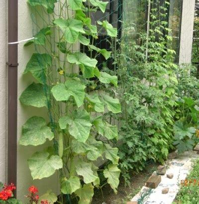 Vertical Gardening Zucchini Growing Zucchini Vertically Www Pixshark Images
