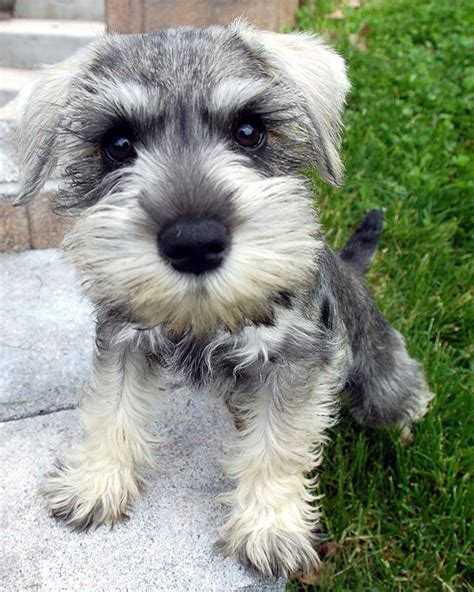 how to give a miniature schnauzer puppy a first haircut ehow schnauzer dogs on pinterest schnauzers schnauzer puppy