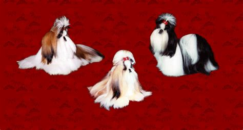 shih tzu breeders vancouver shih tzu puppies for sale