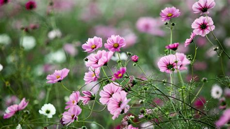 download wallpaper 1920x1080 pink flowers summer green nature full hd background