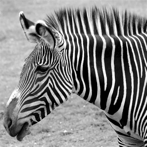 black and white zebra ls zebra here it is in black and white photograph by gordon