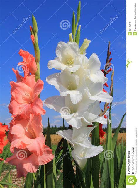 imagenes de flores libres gladiolas blancos y anaranjados en el co de flor fotos