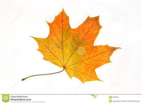 Orange Leaf Gift Card - orange maple leaf stock photo image 3318570