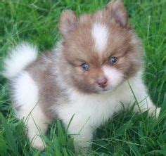 pomeranians for sale in greensboro nc 1000 images about adoptable pomeranians on pomeranian dogs pomeranians