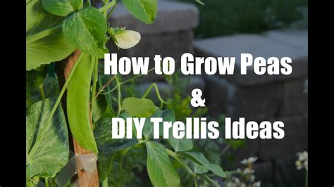 plant  grow peas  easy diy trellis ideas