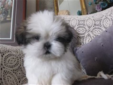 shih tzu oregon shih tzu puppies oregon assistedlivingcares
