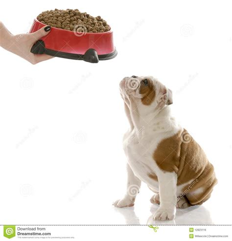 dog only eats from hand dog dinner time stock photo image of adorable hand