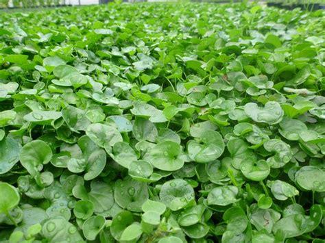semina erba giardino prato di dicondra domande e risposte giardinaggio