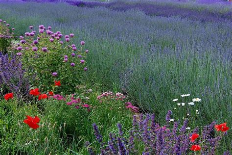 top 28 lavender planting tips top 10 tips how to grow