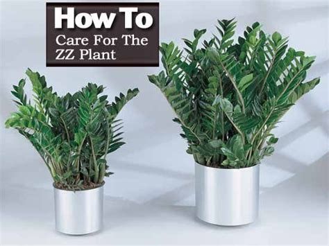 zz plant care tips   grow zamioculcas zamiifolia