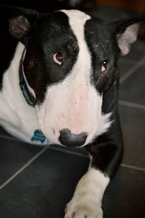 12 Reasons Why You Should Never Own Bull Terriers   12 reasons why you should never own bull terriers dogs