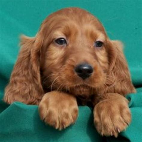 setter dog puppy irish setter puppy with long ears png