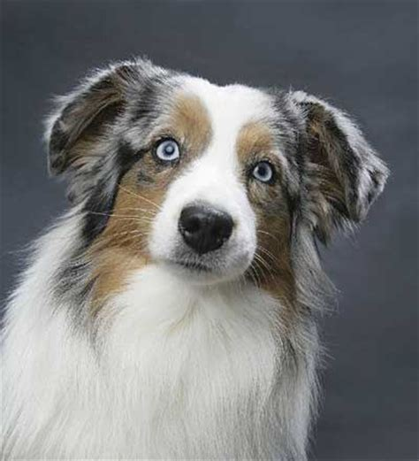 breeders in maryland miniature american shepherd and miniature australian