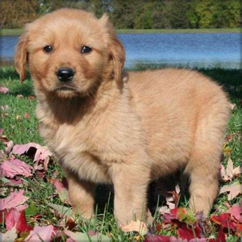 golden retriever breeders qld golden retriever puppies breeders qld dogs in our photo