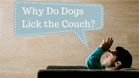 Why Do Dogs Lick The Couch Smart Dog Owners