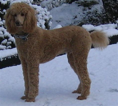 at what age is a grown what age is a poodle grown dogs in our photo