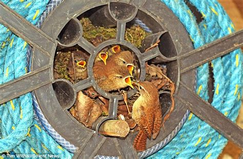 Home And Hosed Gardener Spots Wrens Their Nest In A Hose Reel