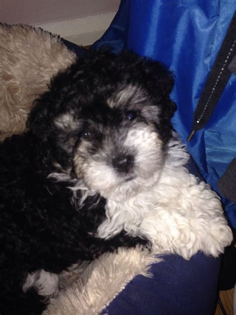 bichon havanese for sale bichon havanese puppies for sale uk breeds picture