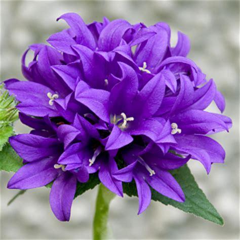 un fiore violetto linguaggio dei fiori di colore viola il giardino tempo