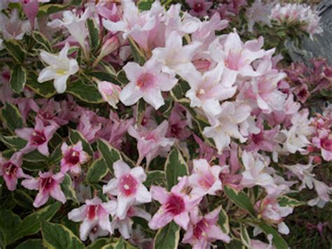 hardy flowering shrubs along the picket fence weigela incoporating this hardy