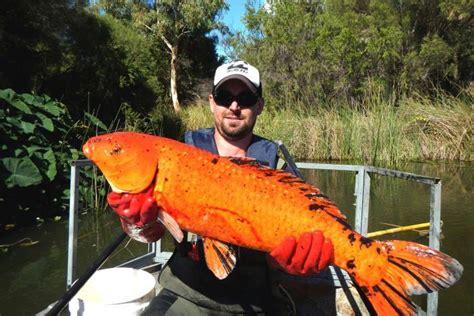 Koi Big Size 1 dumped aquarium fish decimating species hurting