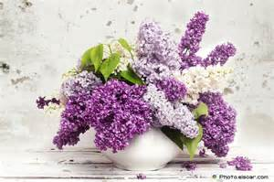 flieder in vase 25 most beautiful lilac flowers for all events elsoar
