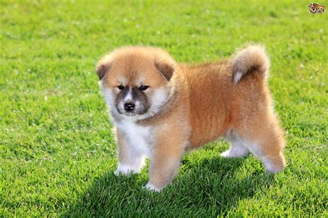 akita puppy cost japanese akita inu breed information buying advice photos and facts pets4homes