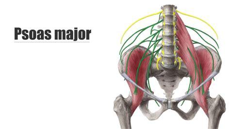 iliopsoas diagram psoas anatomy human anatomy diagram