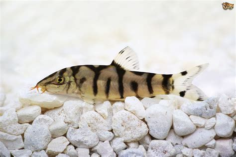 Bottom Feeder best bottom feeders for your fish tank pets4homes