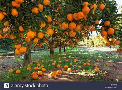 fruit trees in orange laden fruit trees in an orchard stock photo