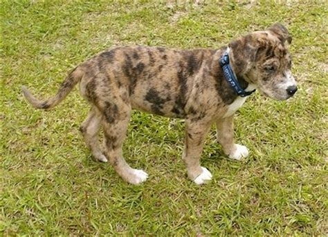 catahoula puppies for sale california catahoula bulldog puppy catahoula bulldog breed info pictures breeds picture