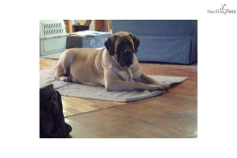 hug puppies for sale puppies for sale from hug a mug mastiffs member since october 2012
