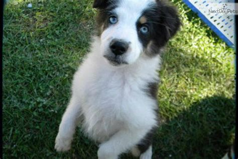 find a puppy near me australian shepherd puppies for sale near me breeds picture