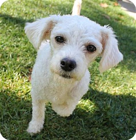 yorkie poo puppies for sale in des moines iowa yorkie poodle puppies in maine breeds picture