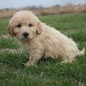 goldendoodle puppy for sale nj mini goldendoodle puppy sale nj sold bark