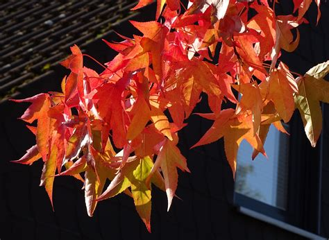 wallpaper daun maple gambar sketsa daun maple 28 images 3d autumn live