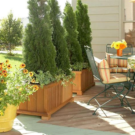 arborvitae trees in planters on deck small tree in